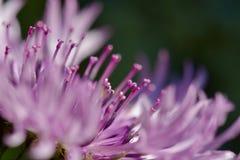 Foto macro de uma centáurea cor-de-rosa; orientação diagonal; qualidades abstratas fotos de stock