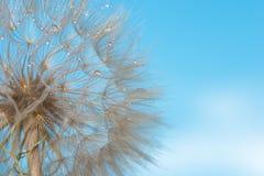 A foto macro de uma flor deflowered de um dente-de-leão contra o th fotografia de stock