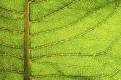 Foto macro de uma folha textured e verde-clara da planta Foto de Stock Royalty Free