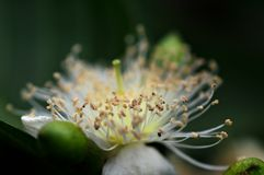 Foto macro do detalhe amarelo da antera da flor da goiaba foto de stock