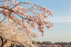 Foto macro do detalhe de flores japonesas da flor de cerejeira Fotos de Stock Royalty Free