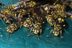 Foto macro do grupo de vespas no assoalho de turquesa imagem de stock