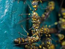 Foto macro do grupo de vespas no material do metal do verde azul imagem de stock royalty free