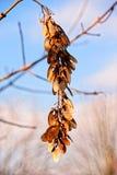 Foto macro inverno, folhas amareladas e fisyat encolhido das bagas apenas nos ramos desencapados das árvores em um céu azul claro Imagens de Stock Royalty Free