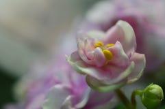 Foto macro violeta de dobra africana do rosa e a branca imagem de stock royalty free