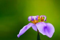 """Foto macro """"Walking roxa azul da flor do caerulea de Neomarica do  de Iris†com espaço da cópia fotos de stock"""
