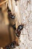 Foto a macroistruzione delle formiche del legno Fotografie Stock