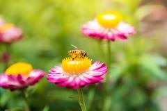 Foto maravillosa de una abeja hermosa y de flores al día soleado Foto de archivo libre de regalías