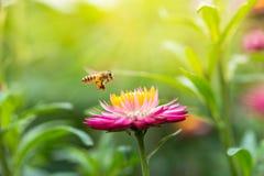 Foto maravillosa de una abeja hermosa y de flores al día soleado Fotos de archivo libres de regalías