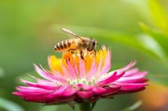 Foto maravillosa de una abeja hermosa y de flores al día soleado Imágenes de archivo libres de regalías