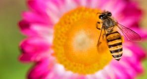 Foto maravillosa de una abeja hermosa y de flores al día soleado Imagenes de archivo