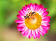 Foto maravillosa de una abeja hermosa y de flores al día soleado Fotografía de archivo