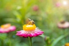 Foto maravillosa de una abeja hermosa y de flores al día soleado Fotografía de archivo libre de regalías
