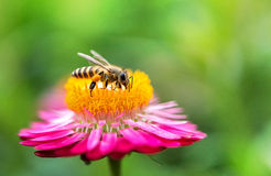 Foto maravillosa de una abeja hermosa y de flores al día soleado Imagen de archivo libre de regalías
