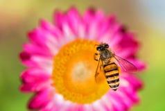 Foto maravillosa de una abeja hermosa y de flores al día soleado Imagen de archivo