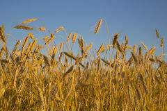 Foto of meadow on growing two rye Royalty Free Stock Images