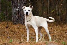 Foto mezclada blanca de la adopción del perro de la raza, Walton County Animal Control Imagenes de archivo