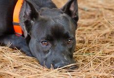 Foto mezclada de la adopción de la raza del perro negro Imagen de archivo