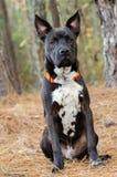 Foto mezclada de la adopción de la raza del perro negro Foto de archivo libre de regalías