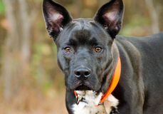 Foto mezclada de la adopción de la raza del perro negro de la mirada fija Foto de archivo