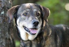 Foto mezclada de la adopción del perro de la raza del pastor de Anatolia imagen de archivo