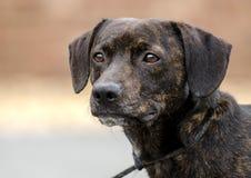 Foto mezclada perro basset berrendo de la adopción del perro de la raza Foto de archivo libre de regalías