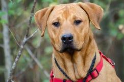 Foto mezclada Rottweiler de la adopción de la raza de Labrador Fotos de archivo