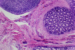 Foto microscópica das pilhas animais Fotos de Stock