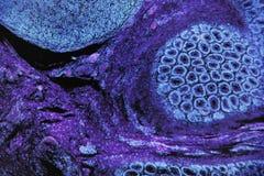 Foto microscópica de las células animales en azules y púrpura fotos de archivo