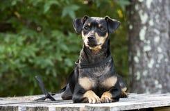 Foto mista miniatura di adozione del cane della razza di Manchester Terrier del pinscher fotografie stock libere da diritti