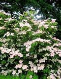 Foto mit dem reizenden ausgiebig blühenden dekorativen Baum Hartriegel Coase Stockbild