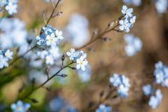 Foto molle del bokeh Il piccolo blu fiorisce il nontiscordardime il campo, tonificante Fotografia Stock