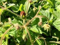 A foto mostra a morango madura inteira do vermelho da baga Foto de Stock Royalty Free