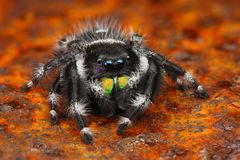 Foto muy sostenida de la araña de salto Phiddipus de los E.E.U.U. Fotografía de archivo