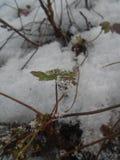 Foto nevado do jardim com uma planta nova Fotos de Stock Royalty Free