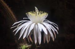 Foto noturno da flor branca do cacto Imagem de Stock Royalty Free