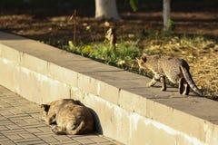 Foto nova dispersa de Cat Photographer, caminhadas de gato pequenas do tigre a um cão fotos de stock