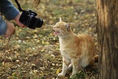 A foto nova dispersa de Cat Photographer, toma fotos do gato amarelo bonito foto de stock royalty free