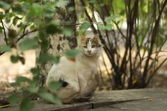 2018 foto nova, gato longo branco marrom bonito da estática do cabelo foto de stock