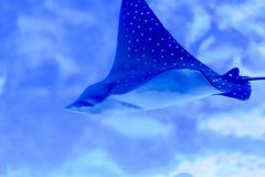 Foto obscura de um Myliobatidae do raio de Eagle em um aquário do mar fotos de stock royalty free