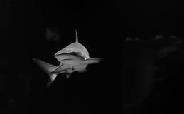 Foto oscura grande del tiburón blanco Imagenes de archivo
