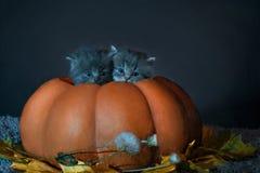 Foto på allhelgonaafton Två gråa kattungar sitter i pumpa Arkivbild