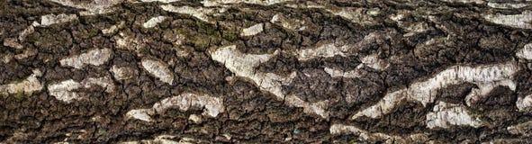 Foto panorámica de la vieja textura de la corteza de abedul con el musgo y el liquen en él Foto de archivo libre de regalías