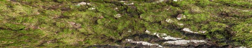 Foto panorámica de la vieja textura de la corteza de abedul con el musgo y el liquen en él Fotos de archivo libres de regalías