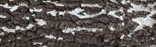 Foto panorámica de la vieja textura de la corteza de abedul con el musgo y el liquen en él Fotografía de archivo