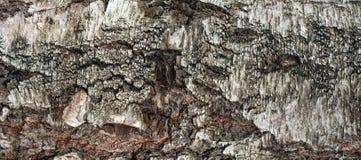 Foto panorámica de la vieja textura de la corteza de abedul con el musgo y el liquen en él Foto de archivo