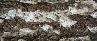 Foto panorámica de la vieja textura de la corteza de abedul con el musgo y el liquen en él Fotos de archivo
