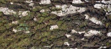 Foto panorámica de la vieja textura de la corteza de abedul con el musgo y el liquen en él Imagenes de archivo