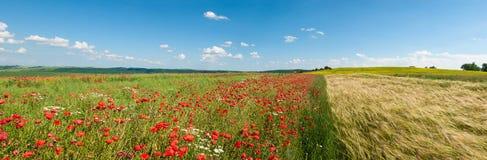 Foto panoramica del campo di grano e dei papaveri su una somma soleggiata Immagini Stock Libere da Diritti