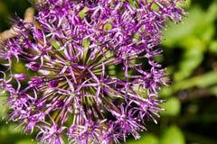 Foto parziale del primo piano del fiore porpora dell'allium Fotografie Stock Libere da Diritti
